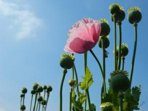 blooming flower & buds